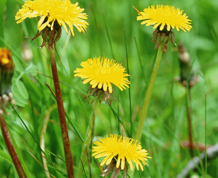 Why You Should Be Drinking Dandelion Root Tea if You Have an Autoimmune Disease!